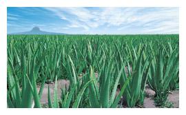 Plantación de Aloe Vera