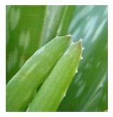 Bordes de las hojas del aloe
